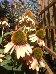 echinacea_Hot_Coral