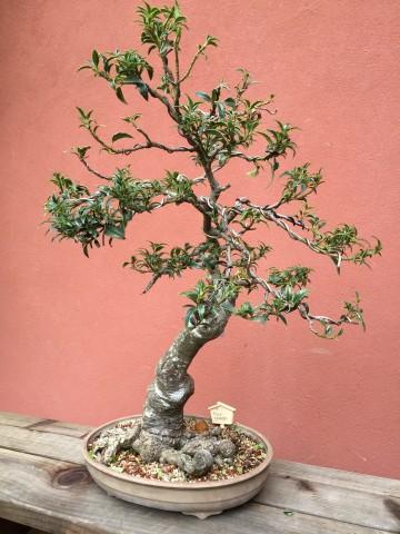 ilex-crenata_bonsai