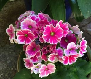 primrose_obconica_pink_bicolor