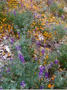 lupine_poppies