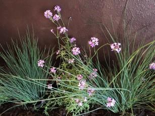 verbena_lilacina-blue_oat_grass