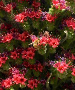 echium_Tower_of_Jewels_bee_closeup