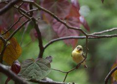 Lesser_Goldfinch