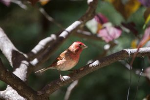 Purple_finch copy