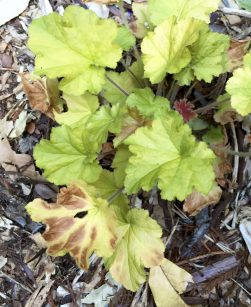 burned_heuchera_leaves