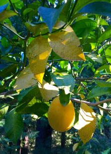 yellow_lemon_leaves