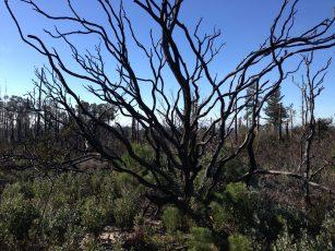 burned tree 2015
