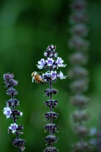 pollinating_bee_African_Blue_basil