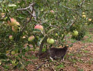 Ginger_Gold_apples