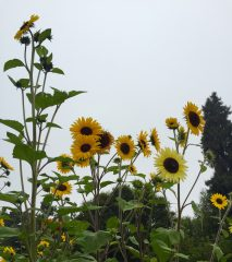sunflower pollinator attractors
