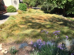 Carex Pansa And Other Lawn Substitutes Gardening Tips For The