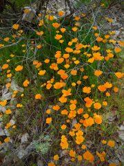 california_poppies