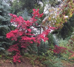 japanese_maple-fall_color2