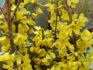 Flowering Trees Shrubs Of Early Spring Gardening Tips For The