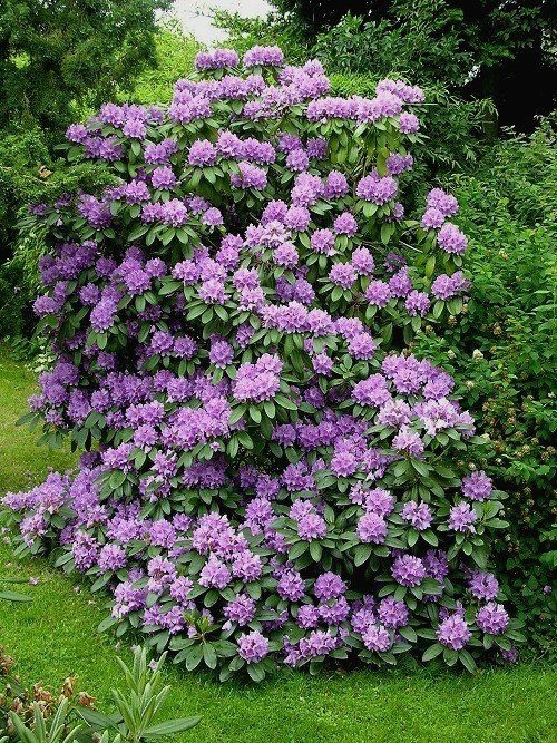 Rhododendrons For The Santa Cruz Mountains Gardening Tips For