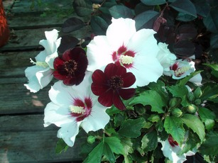 Rose of Sharon Red Heart