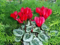 SterlingRed Cyclamen